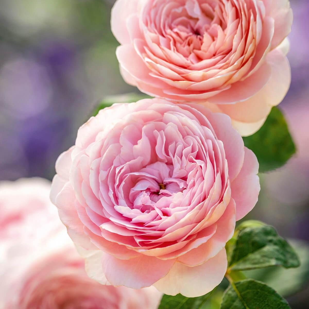 Beautiful Rose image