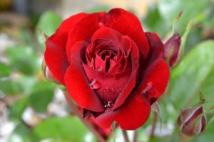 Beautiful rose wallpapers images for whats app