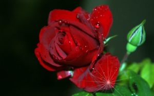 Very beautiful rose image
