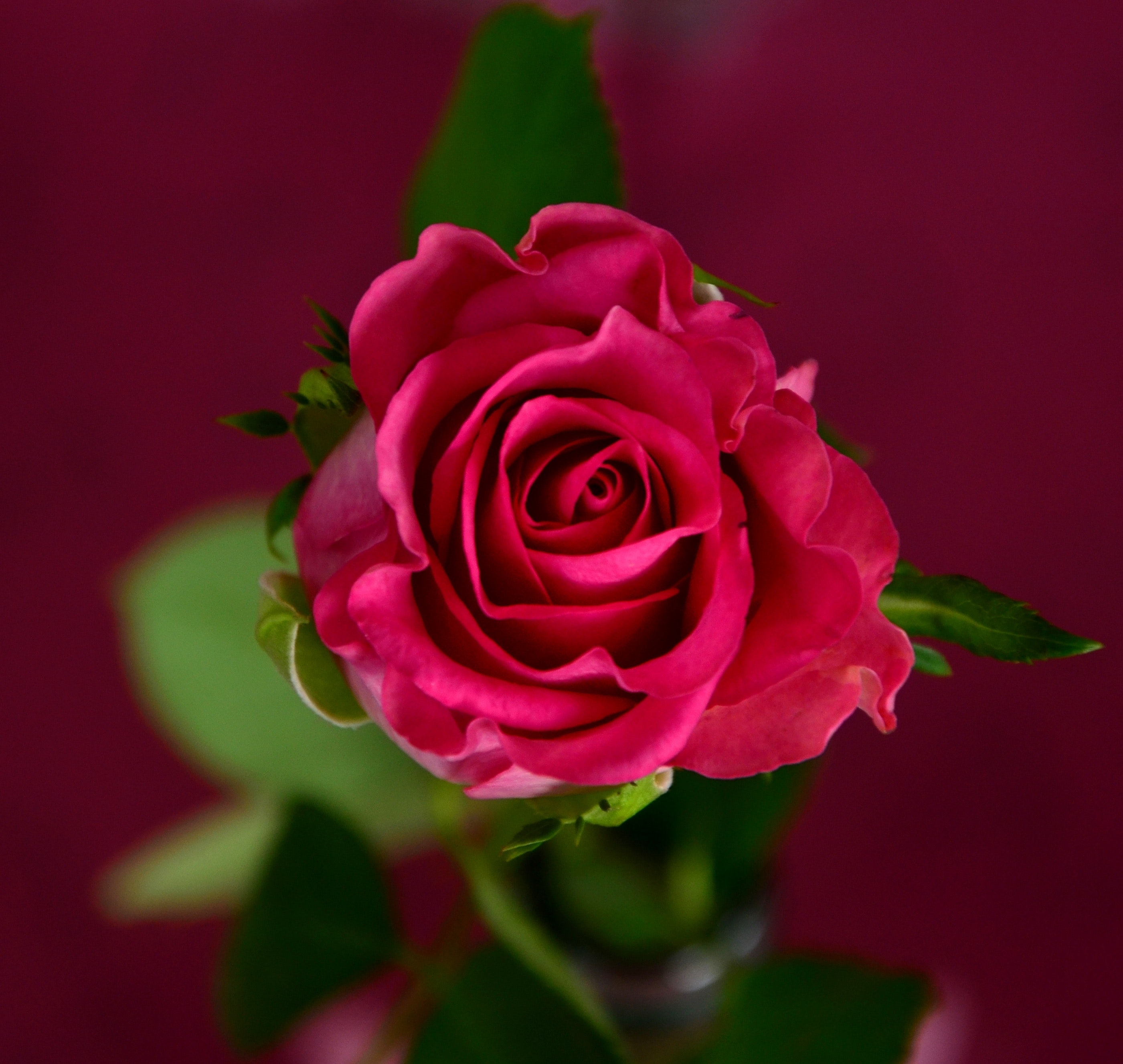 Flower rose image