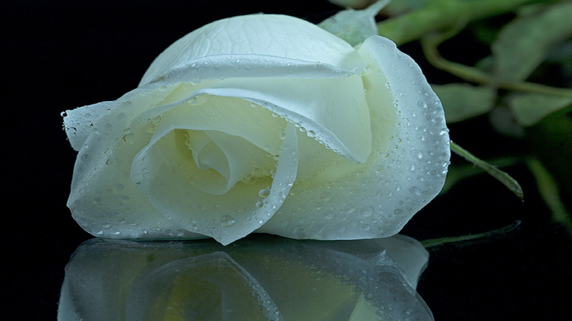 World beautiful flower rose image